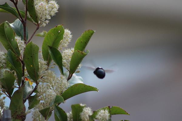 Carpenter Bee Photograph - Carpenter Bee In Flight by Colleen Cornelius