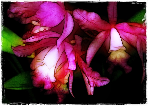 Orchids Photograph - Cattleyas by Judi Bagwell