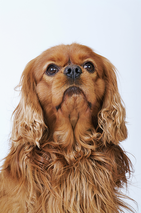 Vertical Photograph - Cavalier King Charles Spaniel Looking Up, Studio Shot by Martin Harvey