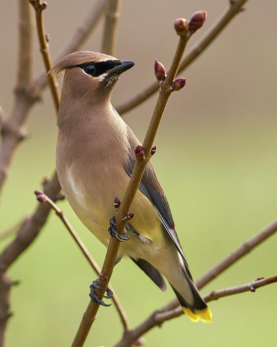 Birds Photograph - Cedar Waxwing by Doug Herr