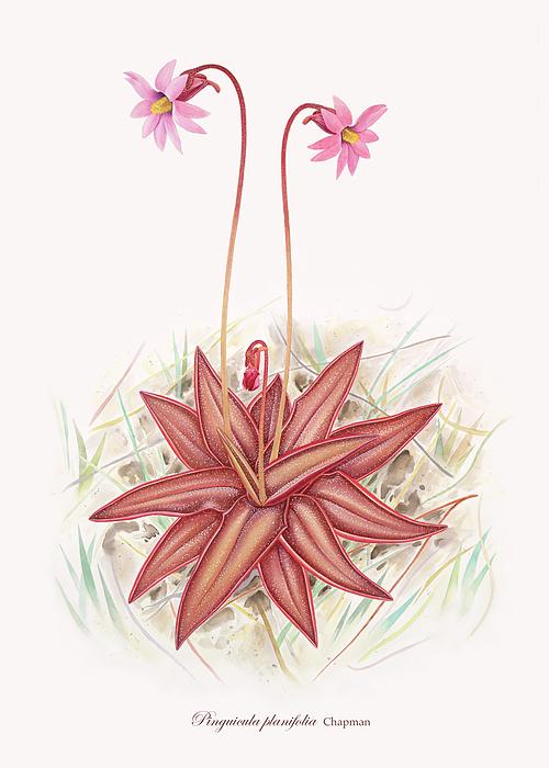 Flowers Painting - Chapmans Butterwort by Scott Bennett