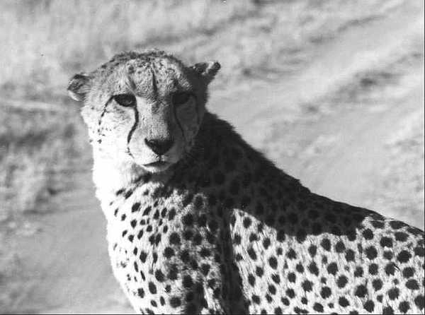 Cheetah Photograph - Cheetah Pose by Susan Chandler