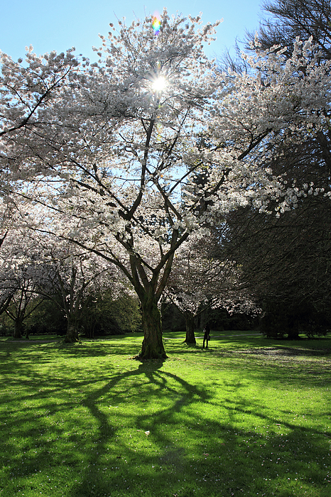Cherry Photograph - Cherry Blossom Sunshine by Pierre Leclerc Photography