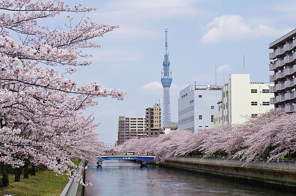Horizontal Photograph - Cherry Blossom Trees Along River, Tokyo. by I.Hirama