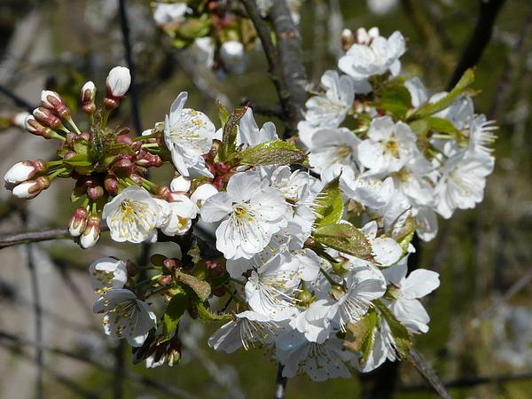 Cherry Photograph - Cherry Blossom by Valerie Ornstein