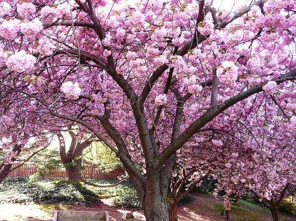 Cherry Blossom Photograph - Cherry Blossom Wonder by Kendall Eutemey
