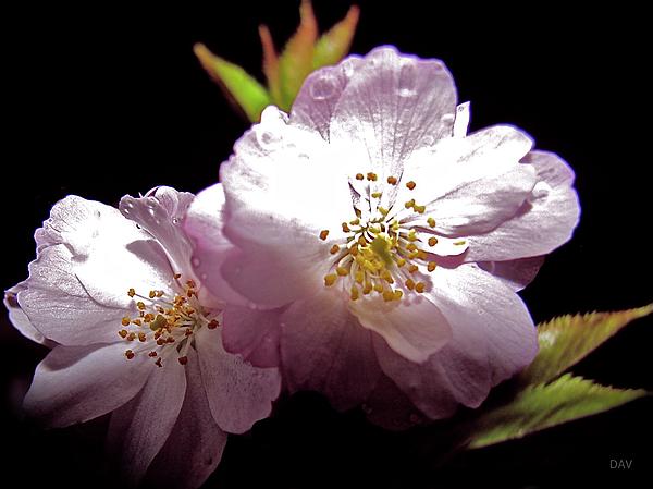 Cherry Blossoms Photograph - Cherry Blossoms by Debra     Vatalaro