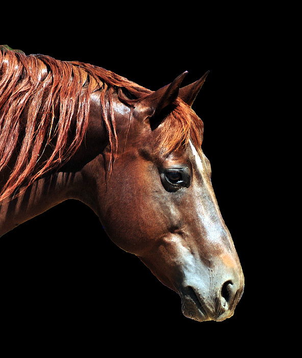 Horse Photograph - Chester by J DeVereS