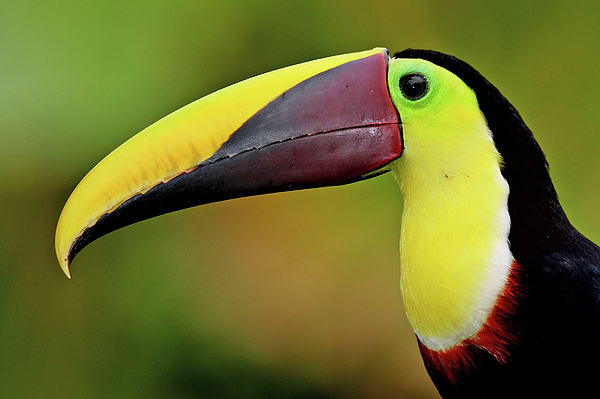 Horizontal Photograph - Chestnut Mandibled Toucan by Photography by Jean-Luc Baron