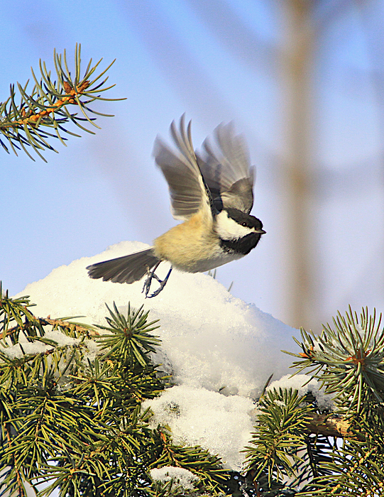 Cards Greeting Cards Photograph - Chickadee-13 by Robert Pearson