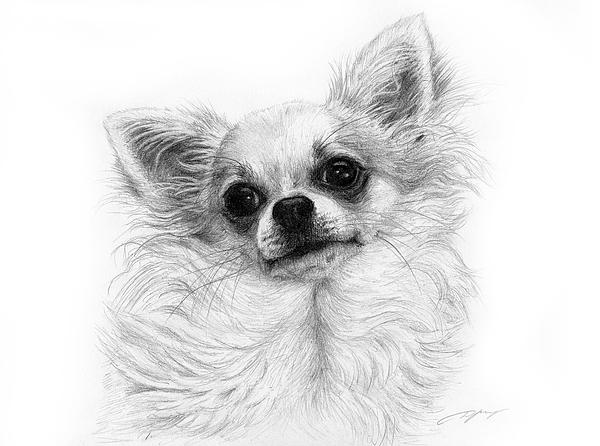 Chihuahua Pencil Drawing Drawing By Danguole Serstinskaja