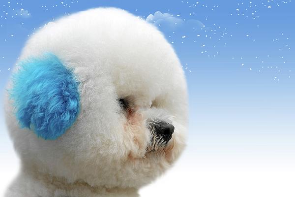 Bichon Frises Photograph - Chinas Latest Craze - Dyeing Pets by Christine Till