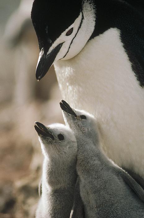 Mp Photograph - Chinstrap Penguin Pygoscelis Antarctica by Tui De Roy