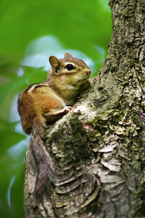 Chipmunk Photograph - Chipmunk On A Limb by Christina Rollo