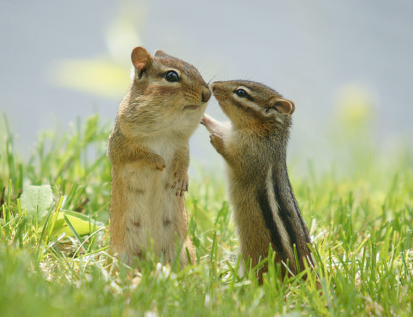 Horizontal Photograph - Chipmunks In Grasses by Corinne Lamontagne