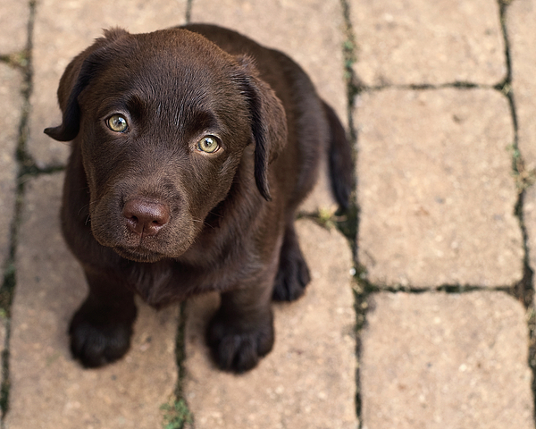 Horizontal Photograph - Chocolate Lab Puppy Looking Up by Jody Trappe Photography