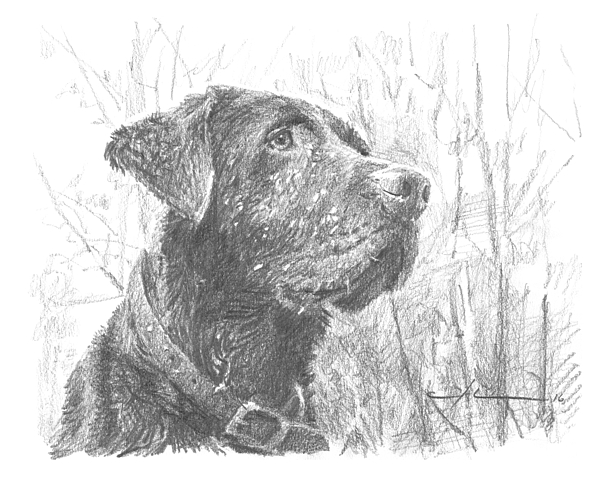 Chocolate Labrador In Woods Drawing Drawing by Mike Theuer