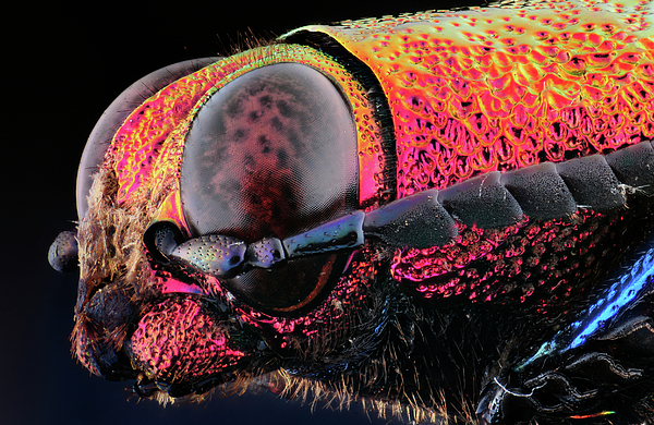 Insect Photograph - Chrysochroa Buquety Rugicollis by Gianfranco Merati