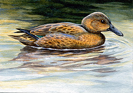 Teal Painting - Cinnamon Teal Duck Aceo by Shari Erickson