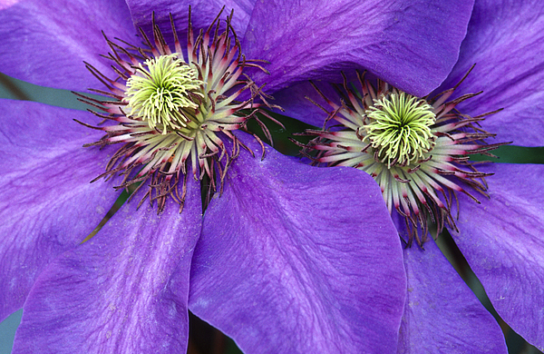 Flowers Photograph - Clematis Detail by Sandra Bronstein