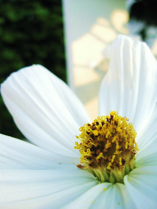 Daisy Photograph - Close To A Daisy by Nancy Ippolito