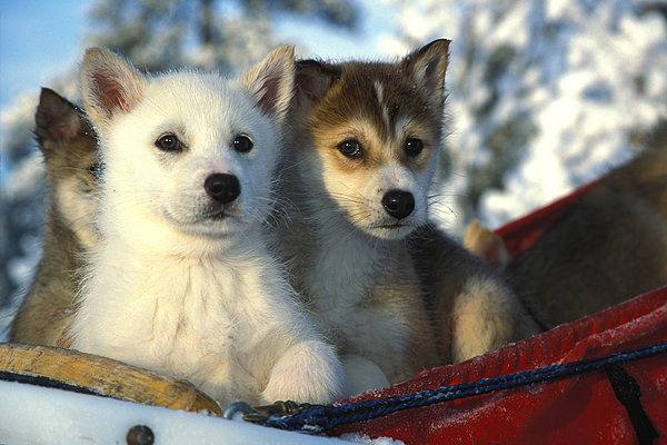 Outdoor Photograph - Close Up Of Siberian Husky Puppies by Nick Norman