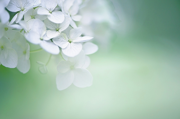 Horizontal Photograph - Close Up Of White Hydrangea by Elisabeth Schmitt
