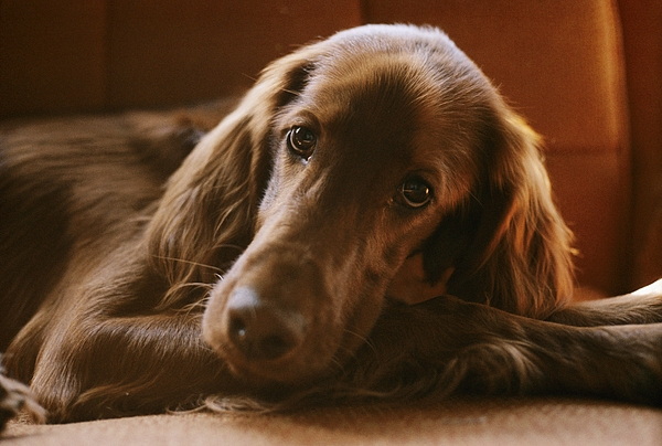 Irish Setter Dogs Photograph - Close View Of An Irish Setter Relaxing by Brian Gordon Green
