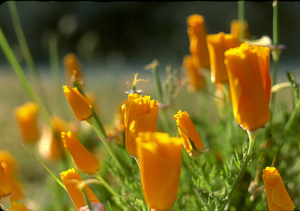 Ca Poppies Photograph - Closed California Poppies by Chris Gudger