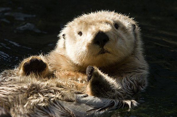Eye Contact Photograph - Closeup Of A Captive Sea Otter Making by Tim Laman