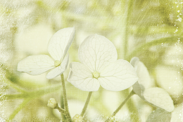 Aroma Photograph - Closeup Of Hydrangea Flowers With Vintage Background by Sandra Cunningham