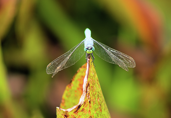 Dragonfly Photograph - Clown Face Dragonfly by Karl Ford