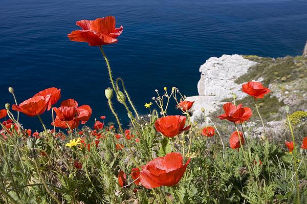 Poppies Photograph - Coastal Poppies by Richard Garvey-Williams