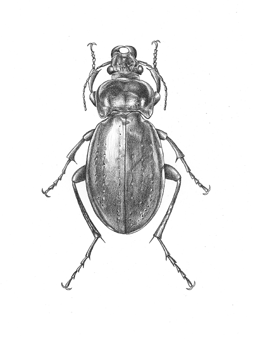 colosma beetle drawing by logan parsons
