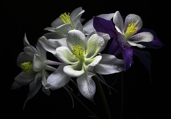 Horizontal Photograph - Columbine Flowers by Flower photography by Viorica Maghetiu