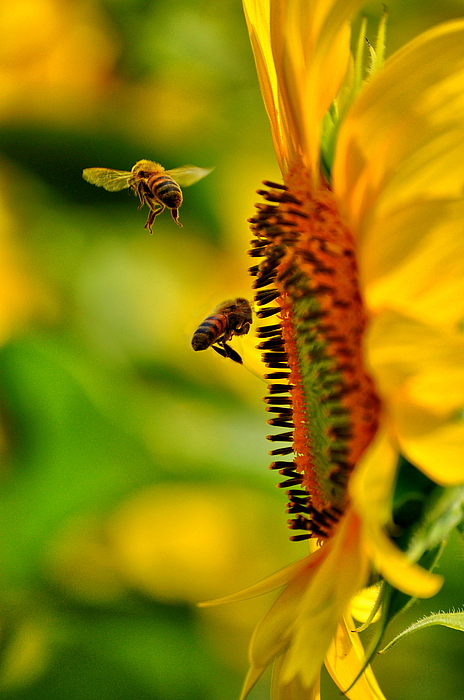 Sunflower Photograph - Coming And Going by Emily Stauring