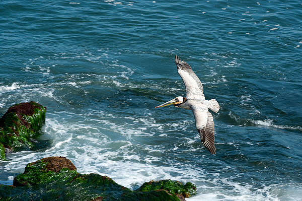 Wildlife Photograph - Coming In by Sandra Bronstein