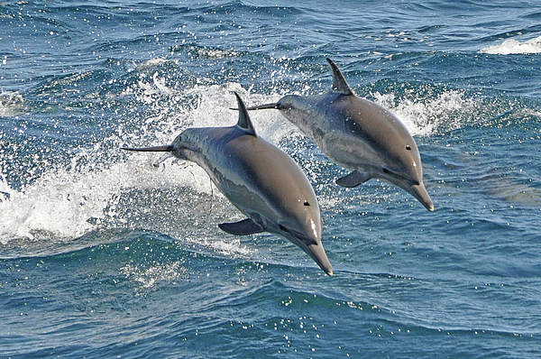 Horizontal Photograph - Common Dolphins Leaping by Tim Melling