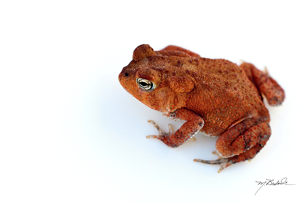 Toad Photograph - Common Yard Toad by Melissa Wyatt