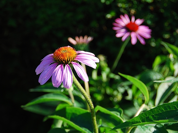 Cone Flower Photograph - Cone Flower by Beverly Cazzell