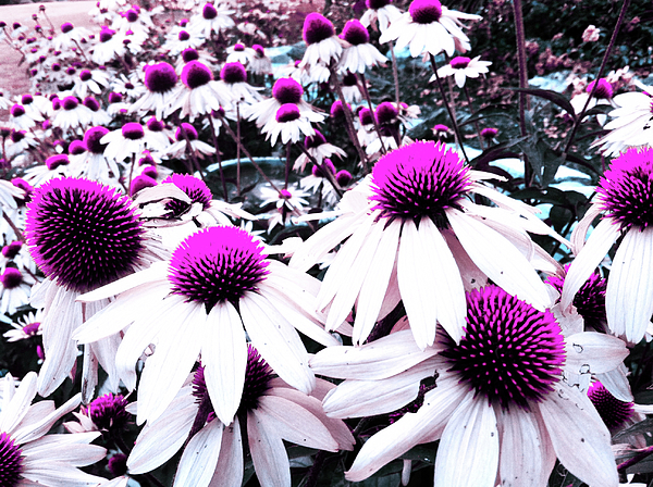Cone Flower Photograph - Cone Flower Delight by Kevyn Bashore