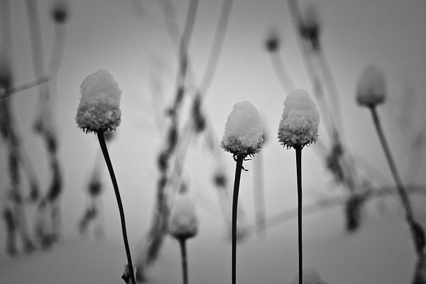 Coneflower Photograph - Coneflower Seedheads Covered In Snow by Teresa Mucha