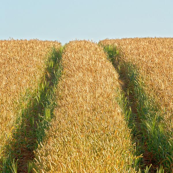 Europe Photograph - Corn Field by Heiko Koehrer-Wagner