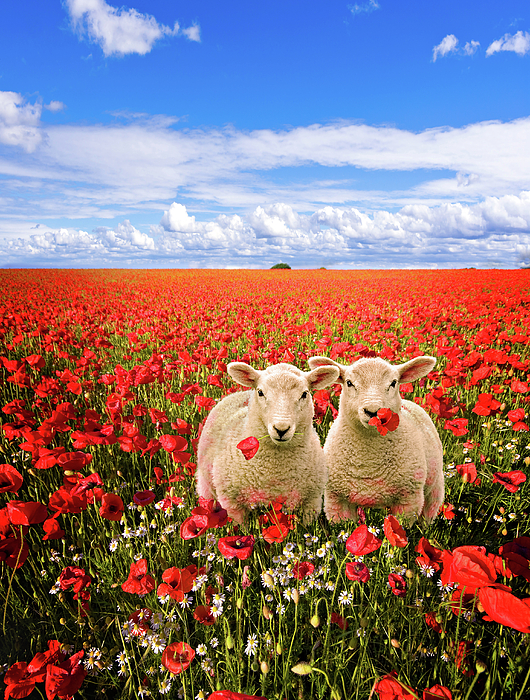 Landscape Photograph - Corn Poppies And Twin Lambs by Meirion Matthias