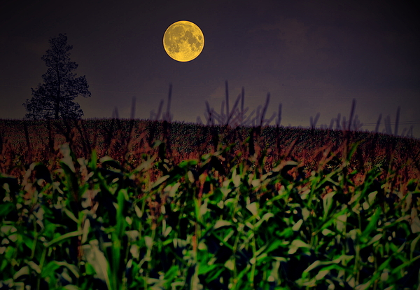 Moon Photograph - Cornfield Moon Tree by Emily Stauring