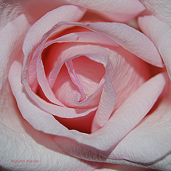 Rose Digital Art - Cotton Candy Rose by DigiArt Diaries by Vicky B Fuller