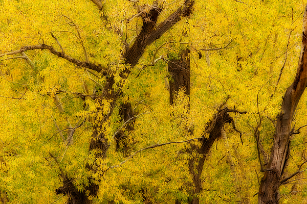 Autumn Photograph - Cottonwood Fall Foliage Colors Abstract by James BO Insogna