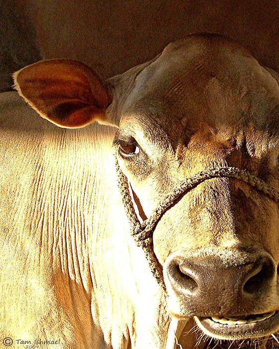 Cow Photograph - Cow Face by Tammy Ishmael - Eizman