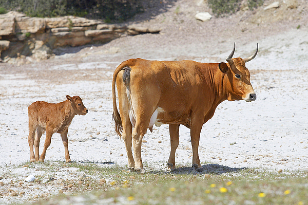 Cow Photograph - Cows by Elisa Locci