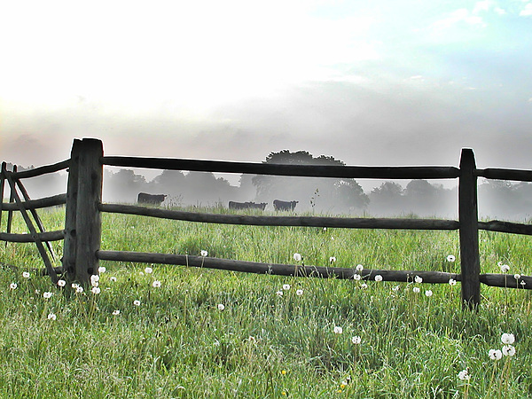 Cows Photograph - Cows In Field by Bill Cannon